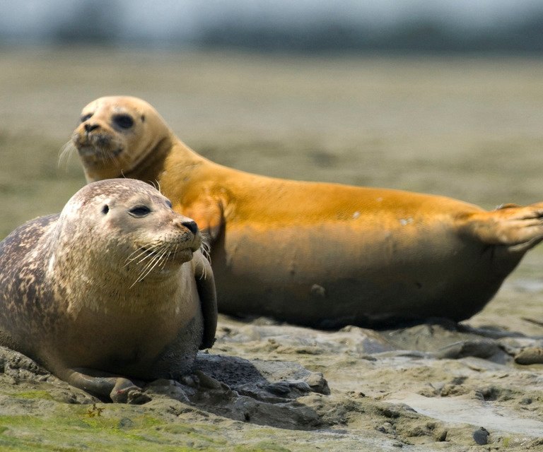 Harbour seal pair © Chas Spradberry  The Wildlife Trusts