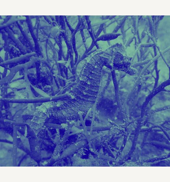 Copy of Seahorse