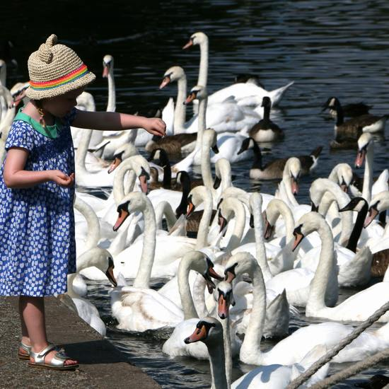 feeding the swans at Comeston Country Park